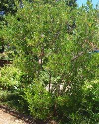 Aalii Tree