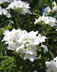 Bridal Bouquet Plumeria