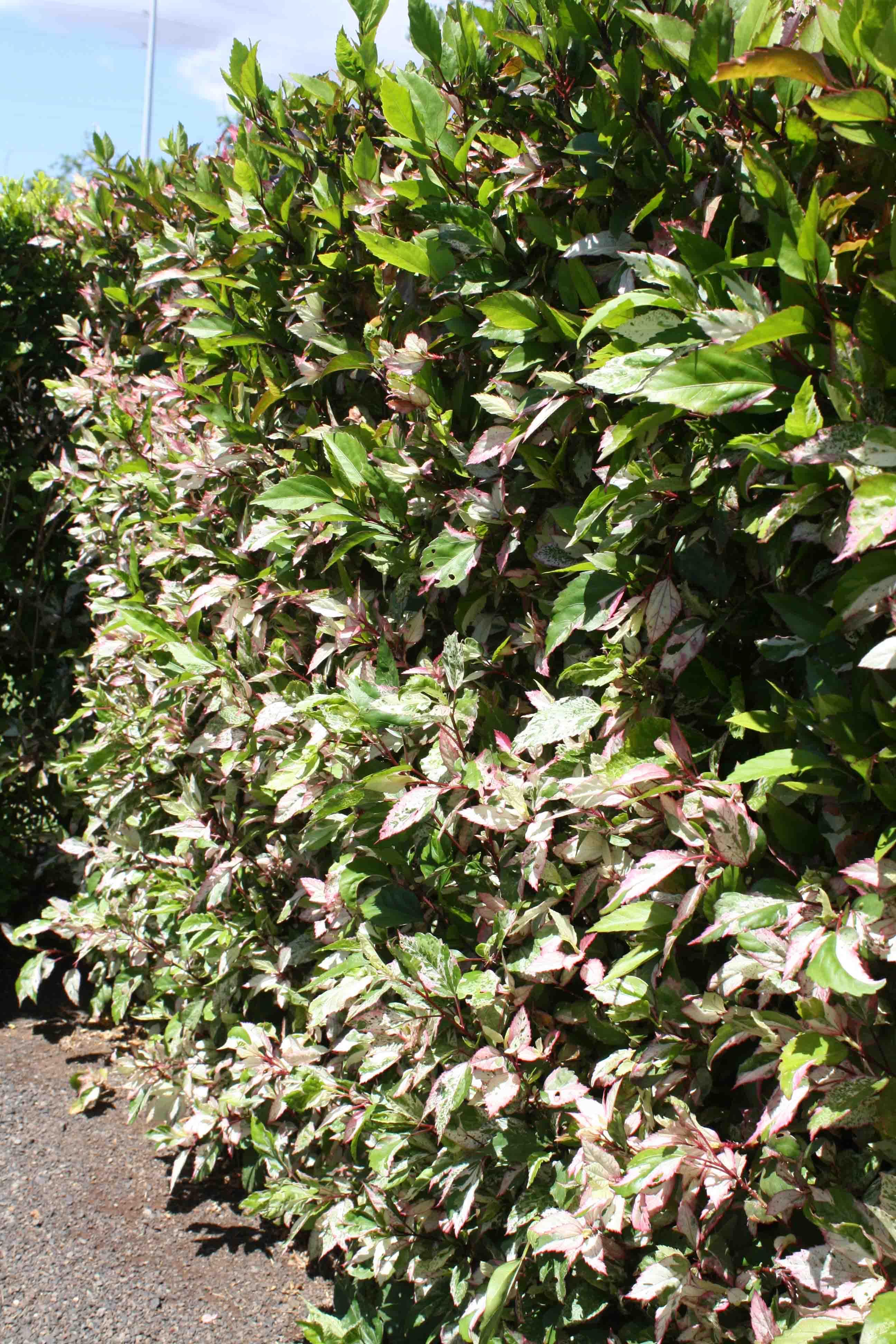 Checkered Hibiscus