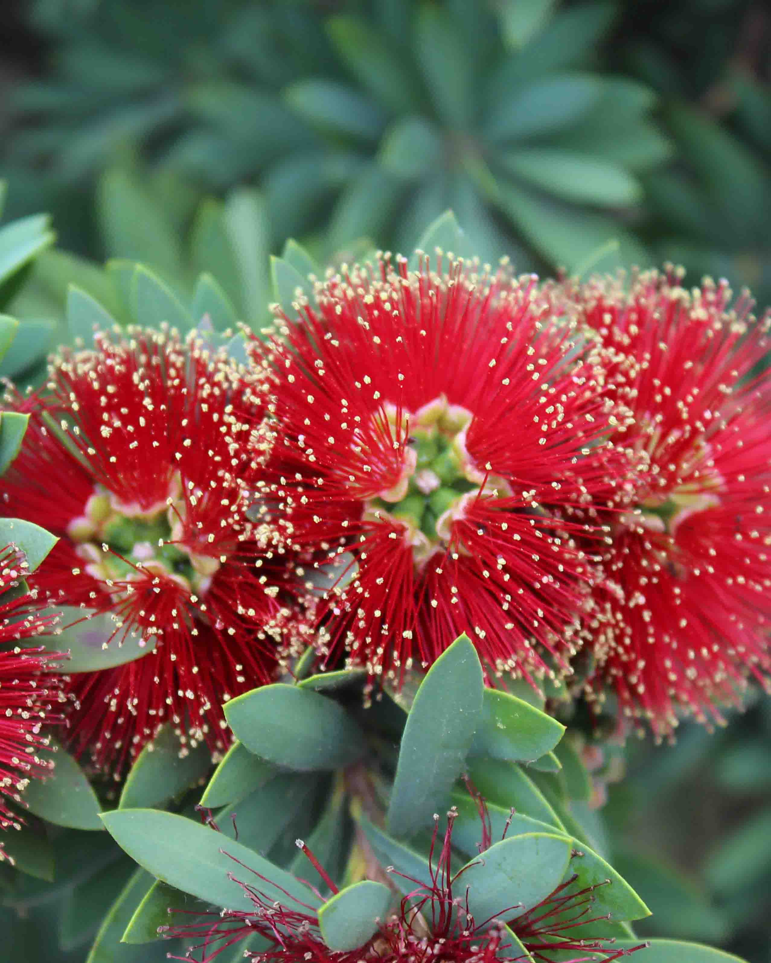 Dwarf Bottle Brush