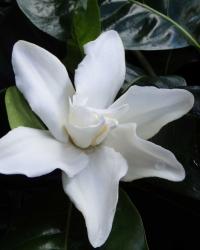 Gardenia Heaven Scent