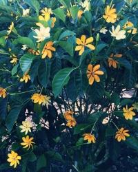 Gardenia Kula