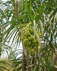 Hala pepe, courtesy of Fleming Arboretum