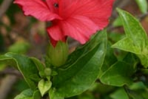 Koki'o 'ula flower