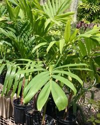 Young Manila Palm