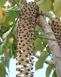 Munroidendron fruit