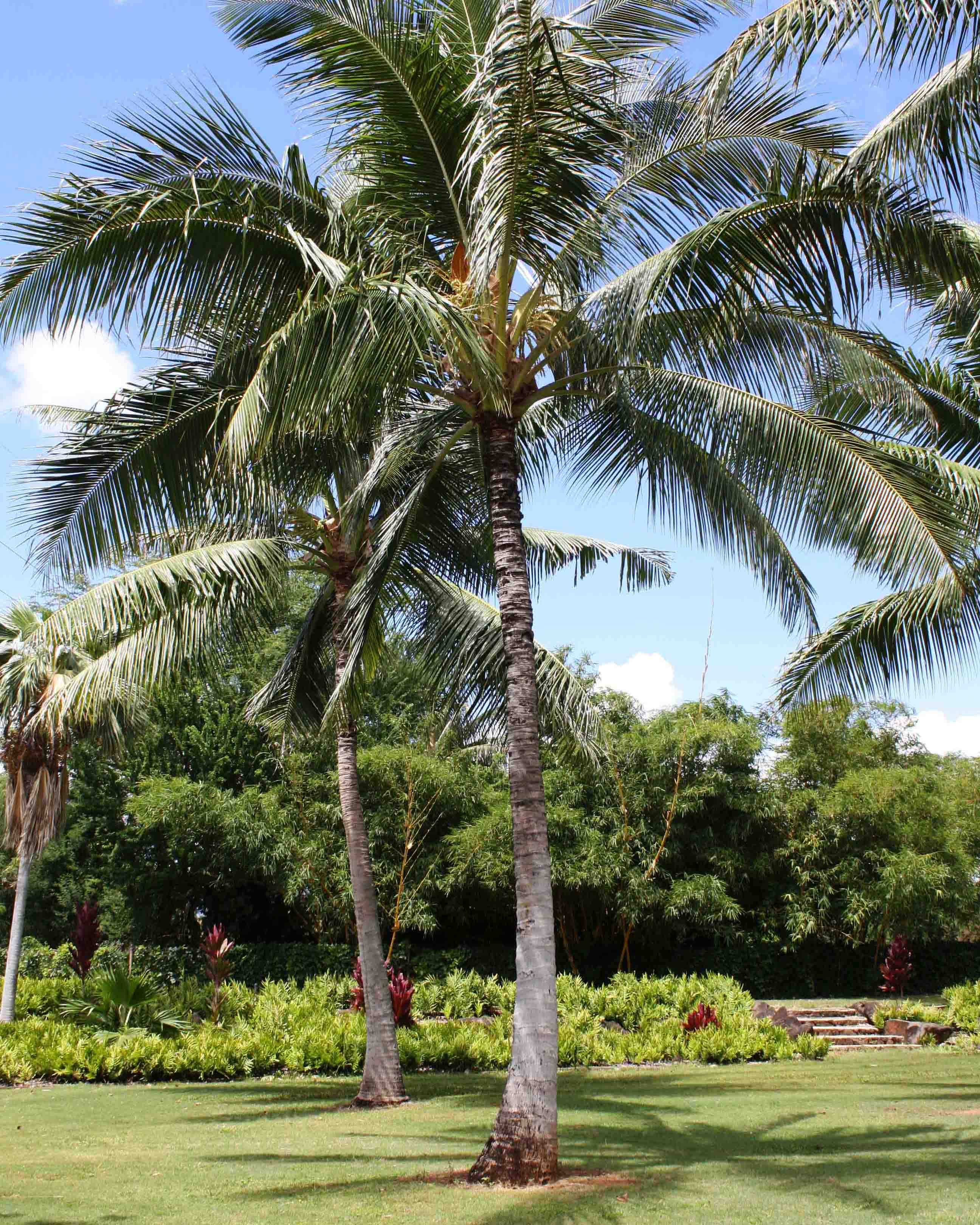 Niu - Coconut Tree*