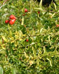 Pomegranate Bud