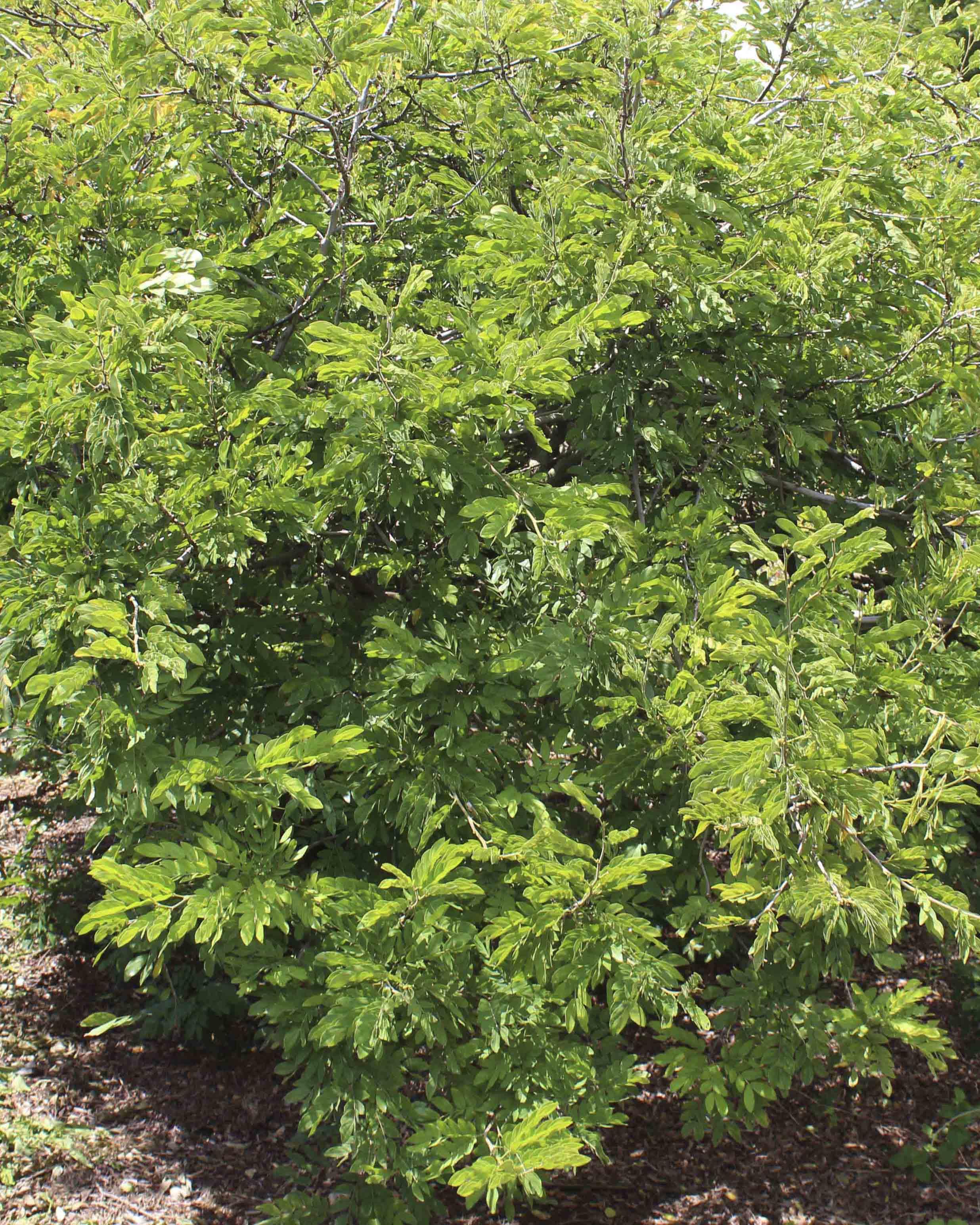 Powderpuff Tree