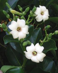 Pua kenikeni flowers