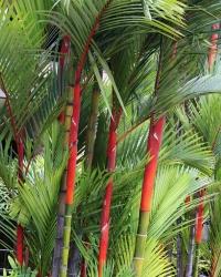 Red Sealing Wax Palm