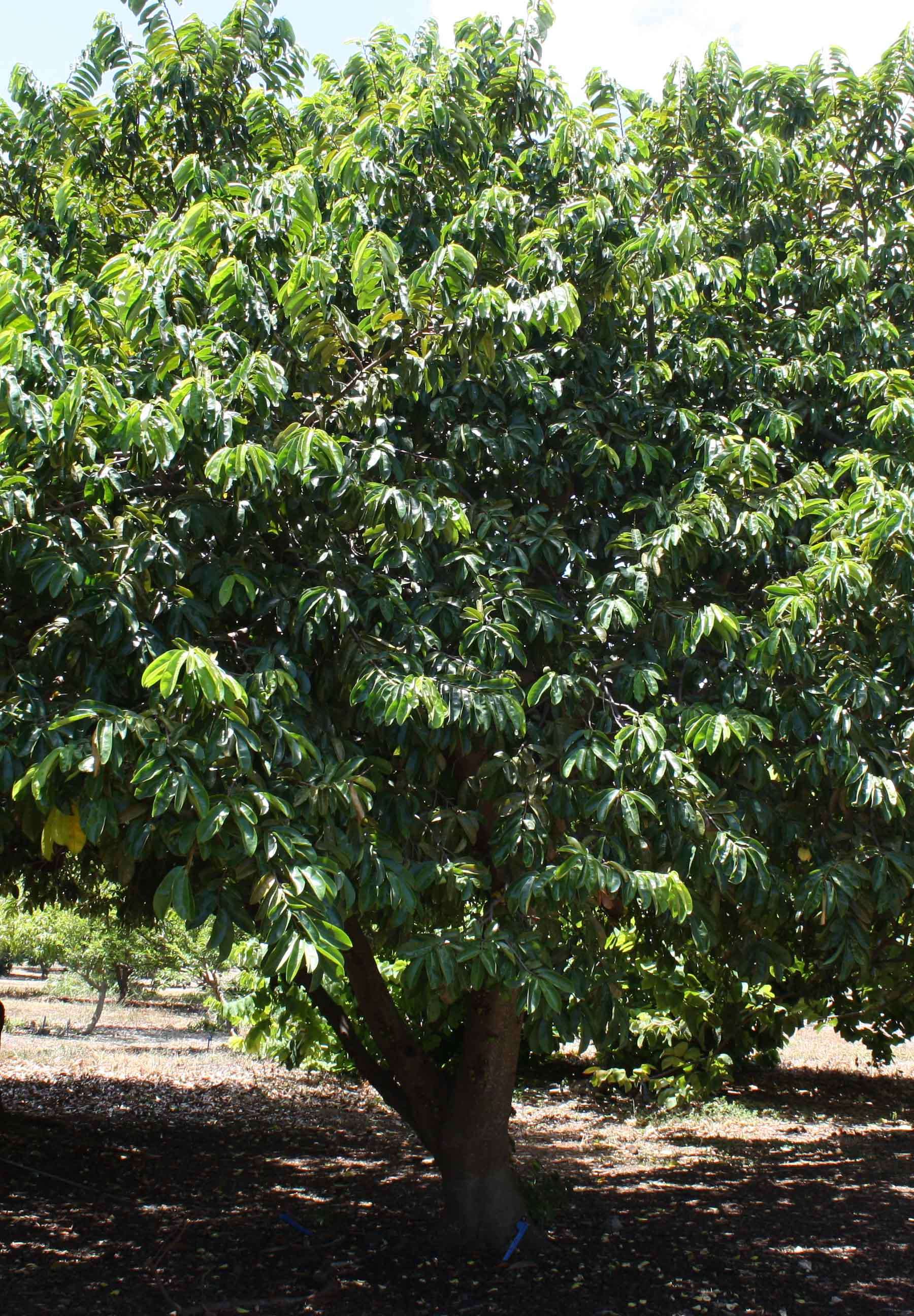 Soursop Tree
