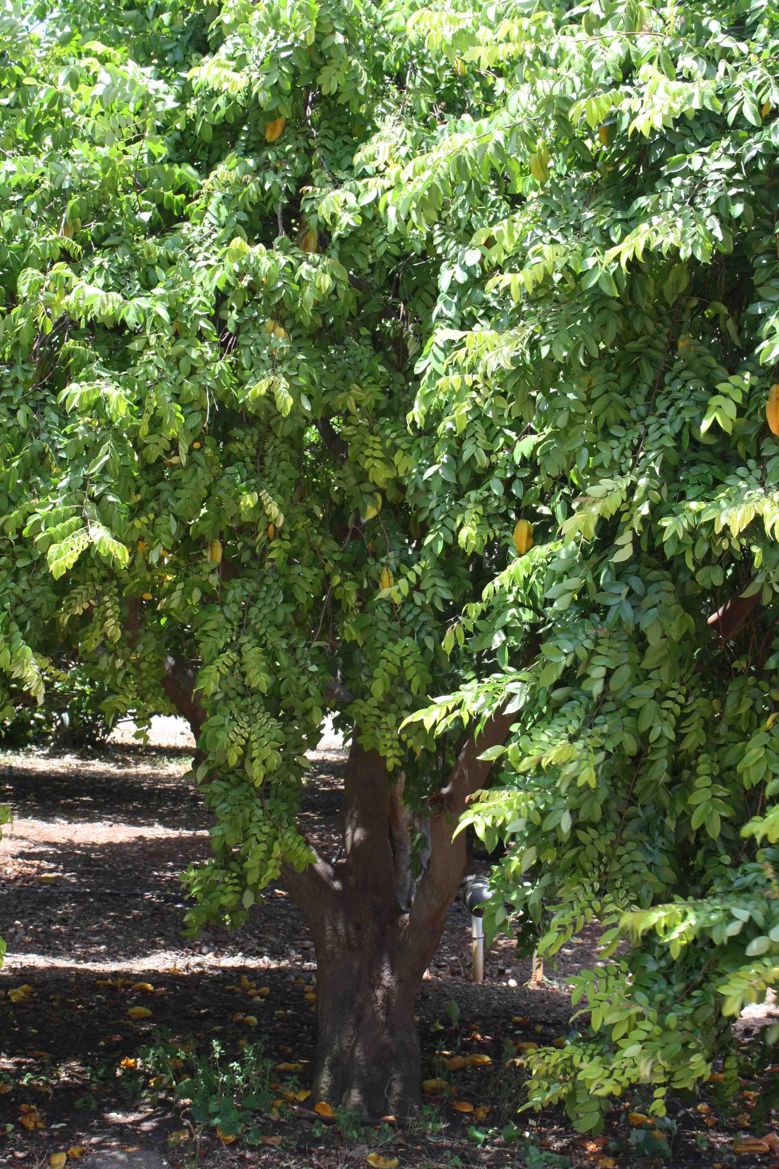 Star Fruit Tree