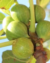 White Kadota Figs