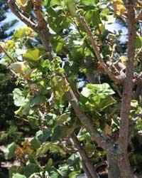 Wiliwili or Hawaiian Coral Tree