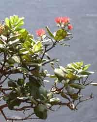 O'hi'a flower Courtesy Forest & Kim Starr (USGS)