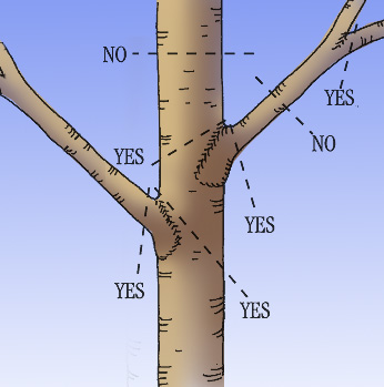 Where to prune large branches